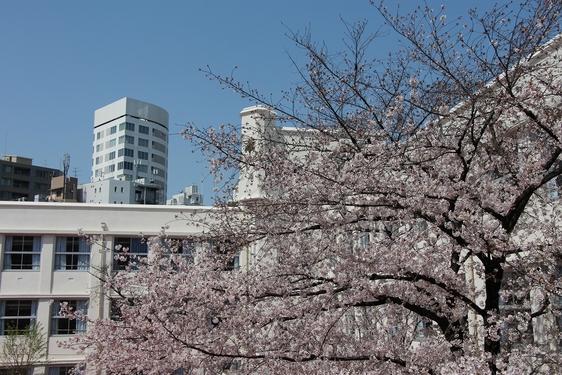 麻布の桜が満開です